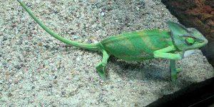 Do Chameleons Need Substrate