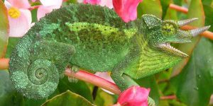 Why Do Chameleons Curl Their Tails