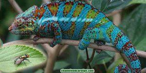 Can Chameleons Eat Flies