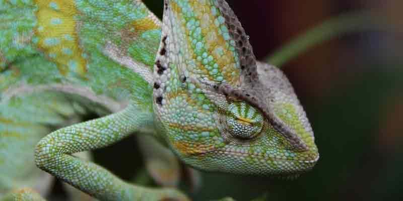 How Long Do Chameleons Sleep