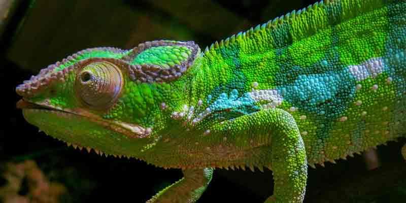 Do Chameleons Need Calcium