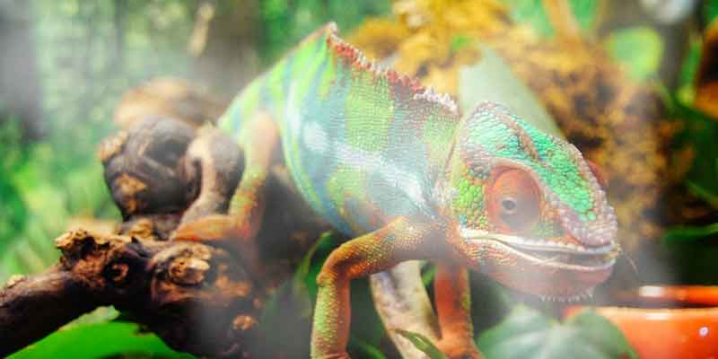 How Much Humidity Do Chameleons Need