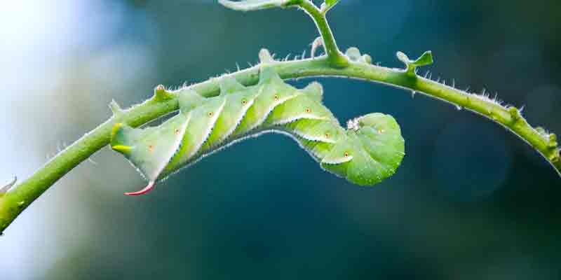 Can Chameleons Eat Hornworms