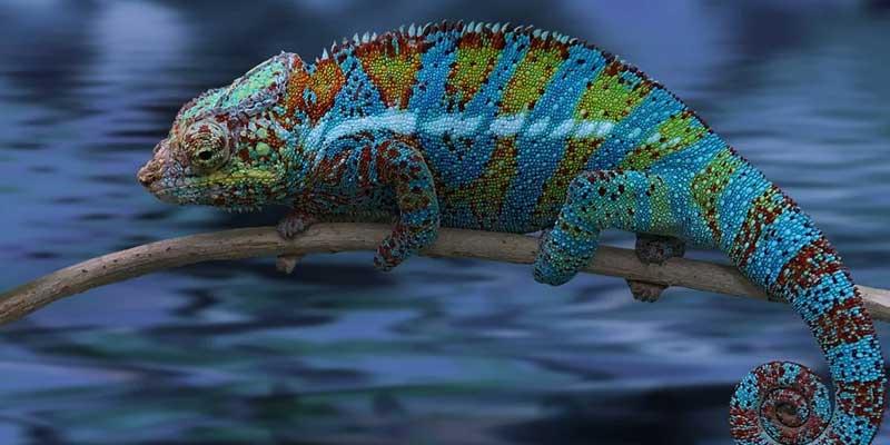 Can Chameleons Swim