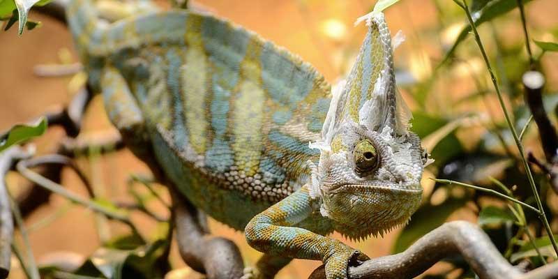 Do Chameleons Shed
