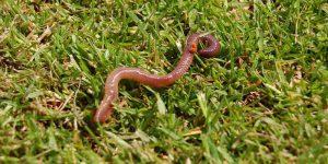 Can Chameleons Eat Earthworms