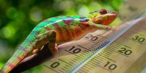 What Temperature Do Chameleons Need