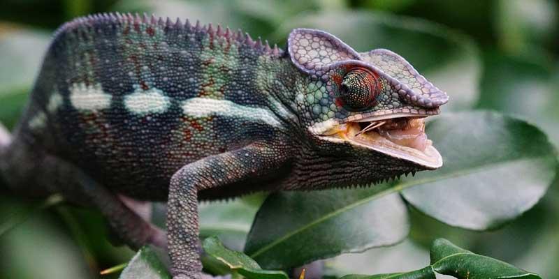 How Often Do Chameleons Eat